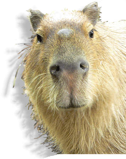 capybarae brandgans im tierportr t tierlexikon mediatime services. Black Bedroom Furniture Sets. Home Design Ideas