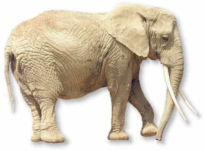 afrikanischer elefant im tierportr t tierlexikon. Black Bedroom Furniture Sets. Home Design Ideas