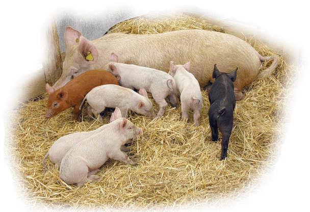 Schwein Im Tierporträt Tierlexikon Mediatime Services