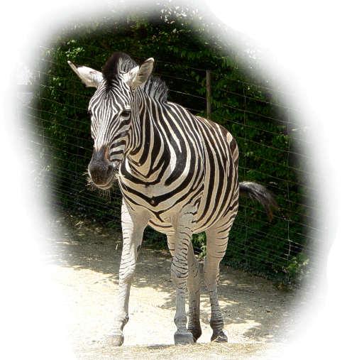 zebra feinde