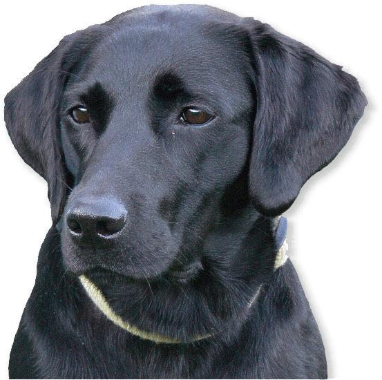 Labrador-Retriever im Tierporträt - Tierlexikon / MediaTime Services