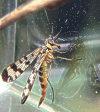 gemeine skorpionsfliege steckbrief