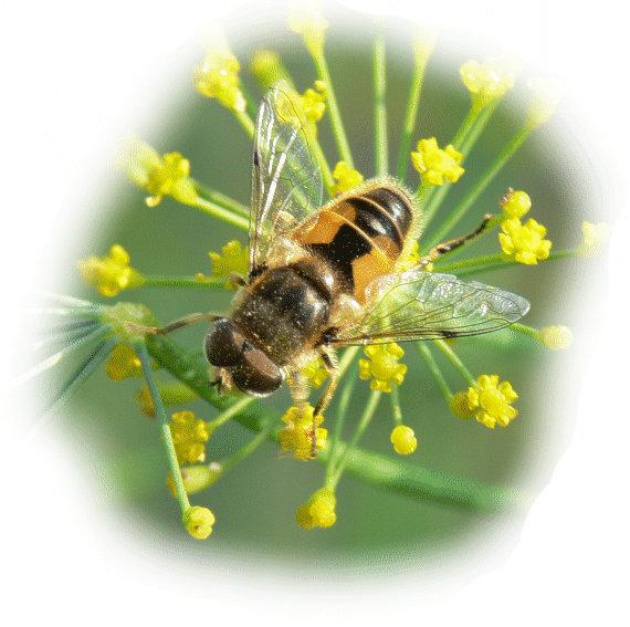 Kleine keilfleckschwebfliege im tierportr t tierlexikon for Kleine fliegen blumen