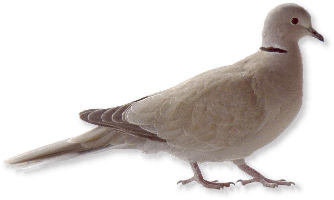 Tauben Sozialverhalten