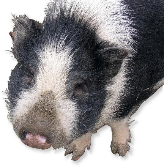 Zwergschwein