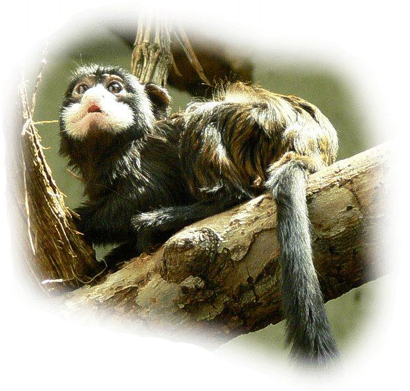 Schnurrbart-tamarin