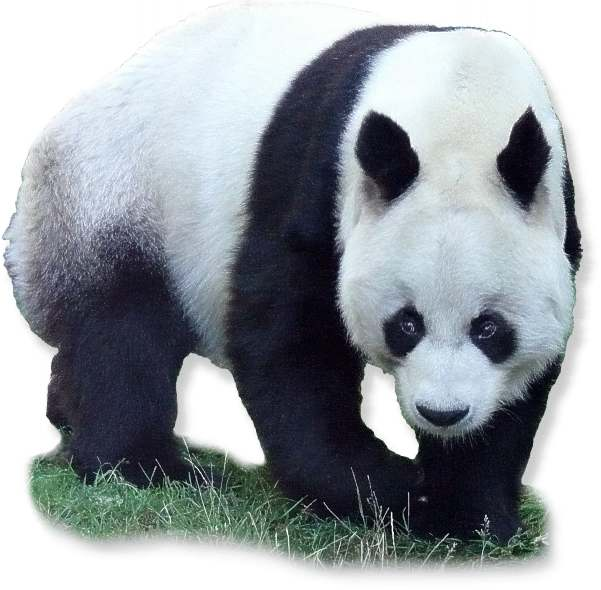 Panda Gewicht