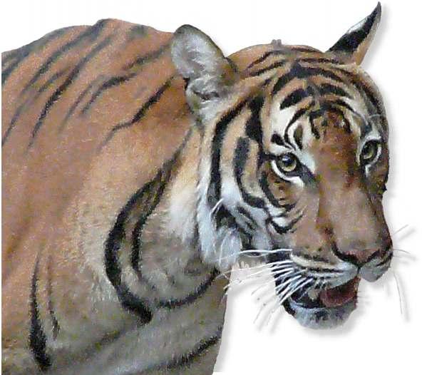 indochina tiger im tierportr t tierlexikon mediatime services. Black Bedroom Furniture Sets. Home Design Ideas
